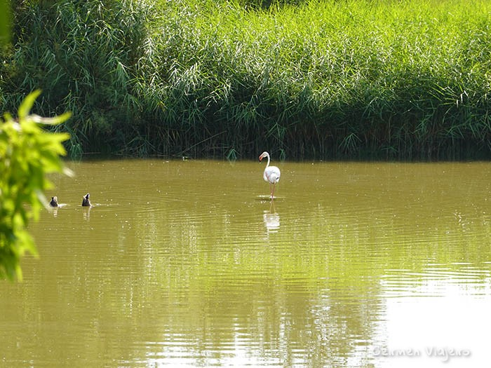 especies de aves en aiguamolls del emporda